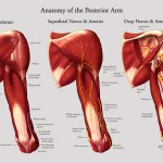 Anatomy of the posterior arm