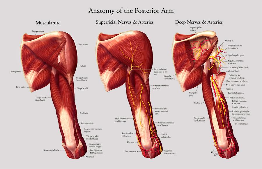 Anatomy of the posterior arm