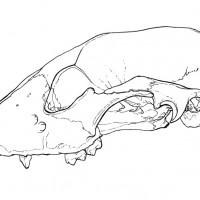 Lateral raccoon skull