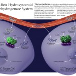 The 11-Beta Hydroxysteroid Dehydrogenase System